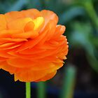 Orange Ranunculus by mississhippi