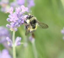 bee on lavendar by cielleigh