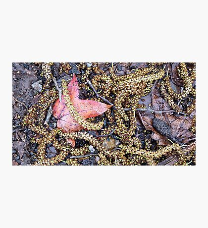 Red Leaf - Belair National Park, South Australia Photographic Print