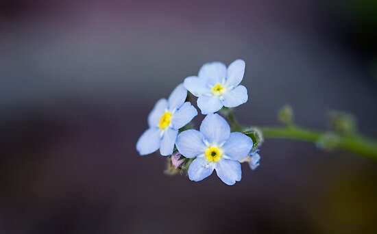 Forget-Me-Nots In The Spotlight II by Josie Eldred