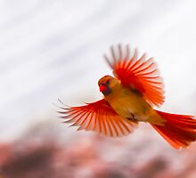 CARDINAL WINGS SPREAD by Randy & Kay Branham
