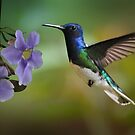 Hummingbird in flight by jimmy hoffman