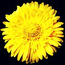 Yellow Flower by tropicalsamuelv