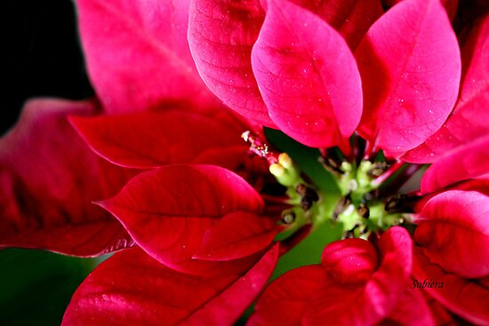 My Bloomin&#x27; Poinsettia by Rosemary Sobiera
