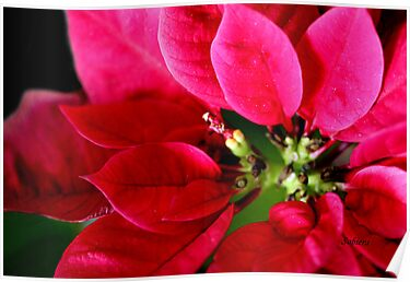 My Bloomin' Poinsettia by Rosemary Sobiera