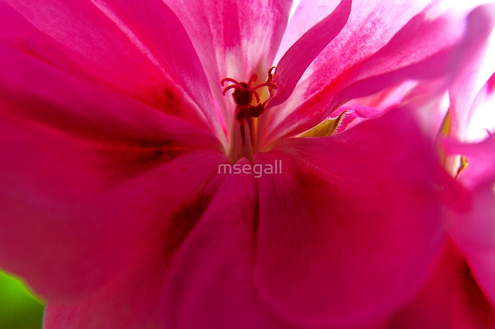 Pink Geranium Close-up by msegall