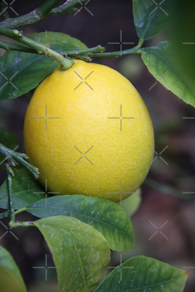 1st Photo of 2013-Lemon by Heather Friedman