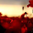poppy flower... by LadyPixbo