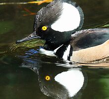 Reflections of a male merganser( i am so pretty how can a female resist me!) by jozi1