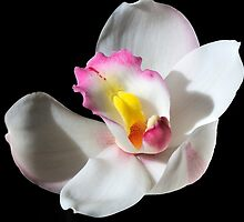 White Beauty - Cymbidium Charles Darwin by bevanimage