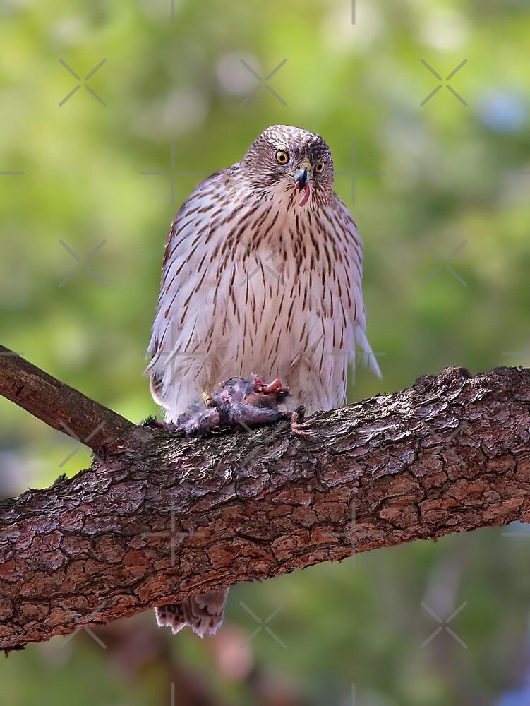 Mealtime - Coopers hawk by Jim Cumming
