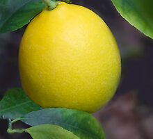 1st Photo of 2013-A Meyer Lemon! (01.01.13) by heatherfriedman