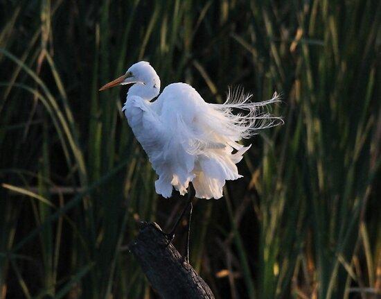Egret On Display by Kym Bradley
