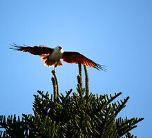 Sea Eagle - Lennox Head NSW by OzNatureshots