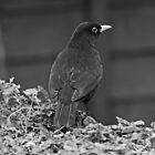 Blackbird by EvilTwin