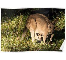 Kangaroo and joey, Carnarvon Gorge, Queensland, Australia Poster