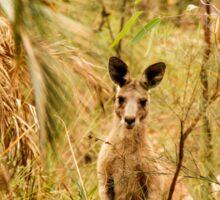 Kangaroo, Carnarvon Gorge, Queensland, Australia Sticker