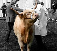 Northumberland Show Bull 2012 by Andrew Pounder