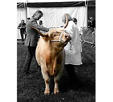 Northumberland Show Bull 2012 Photographic Print