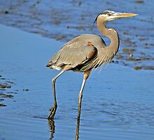 MUDDY FEET (Great Blue Heron) by Photography by TJ Baccari