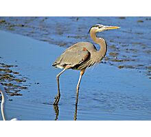 MUDDY FEET (Great Blue Heron) Photographic Print