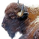 Bison's and blizzards  by John44