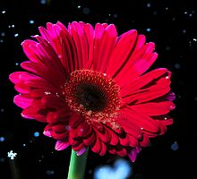 Pink gerbera daisy in snow fall by mricci