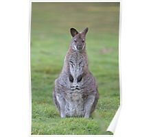 A Wallaby on guard Poster