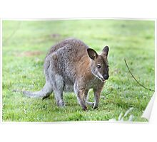 A Wallaby crouched down on the grass Poster