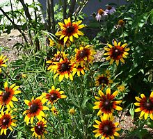 Brown-eyed Susan in the Sun by Olivia Johnson