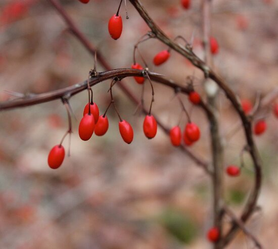 Winter Berries by LightFootsteps