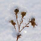 Snow flower  by Nicole  Markmann Nelson