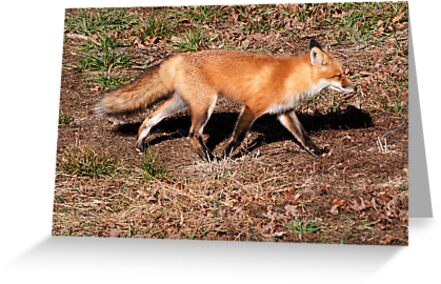Red Fox by barnsis