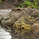 Nile crocodile by Dan MacKenzie