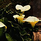 Calla Lilies by jules572