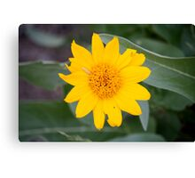 Yellow Desert Wildflower,Reno, Nevada USA Canvas Print