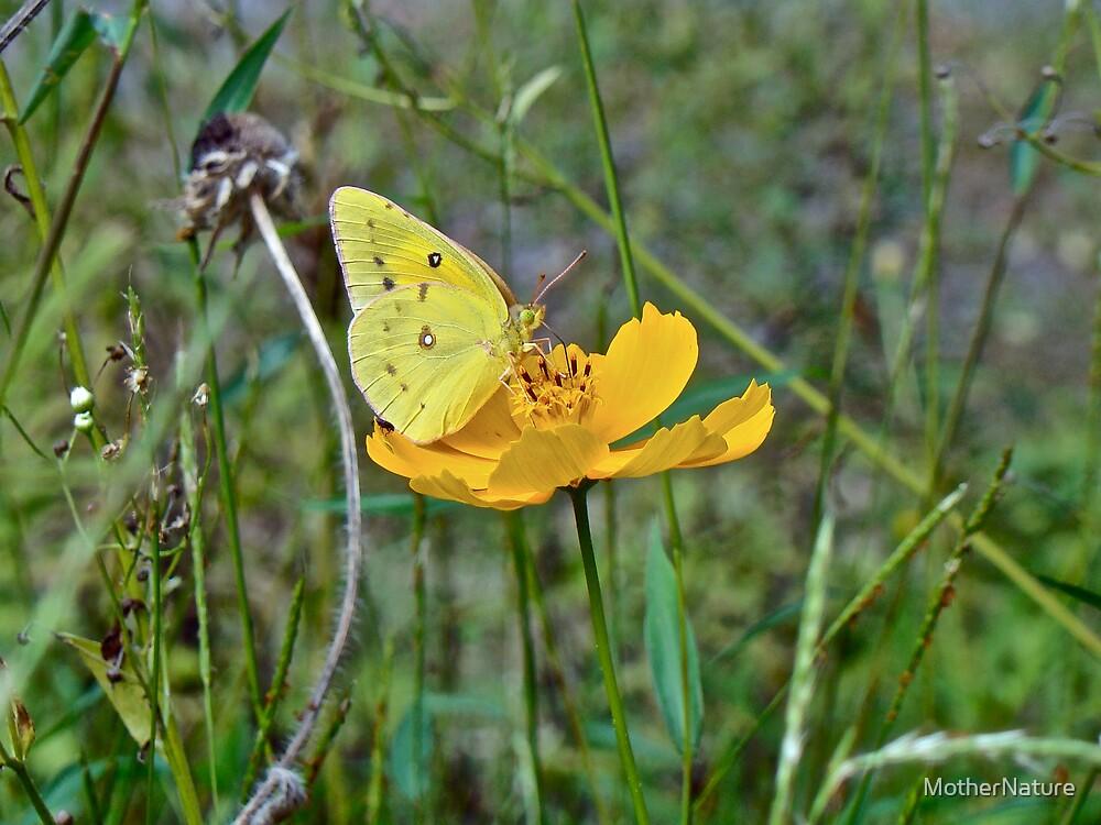 Orange Sulphur Butterfly - Colias eurytheme by MotherNature