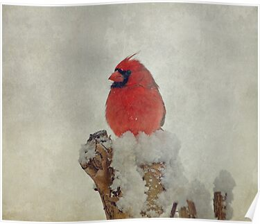 Northern Cardinal by Sandy Keeton