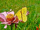 Orange Sulphur Butterfly - Colias eurytheme by MotherNature