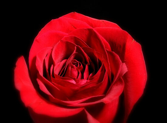Red Rose by henuly1