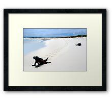 Galapagos Marine Iguana strolls down the beach Framed Print