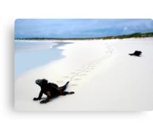 Galapagos Marine Iguana strolls down the beach Canvas Print