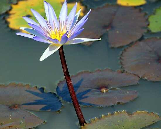An Exquisite Water Lily by Laurel Talabere