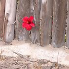 Hibiscus & Fence by Francis Drake