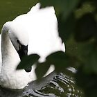 Swan by BrianFitePhoto