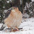 Cooper's Hawk With Prey ~ by Renee Blake
