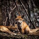 A Pair of Cute Kit Foxes 2 by Thomas Young