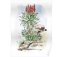Aloe ferox in my garden Poster