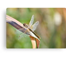 Dragonfly on a Dry Piece of Grass Canvas Print