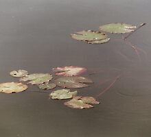 Floating Lily Pads by lechnera09